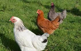Quelle est la différence entre poule et poulet?
